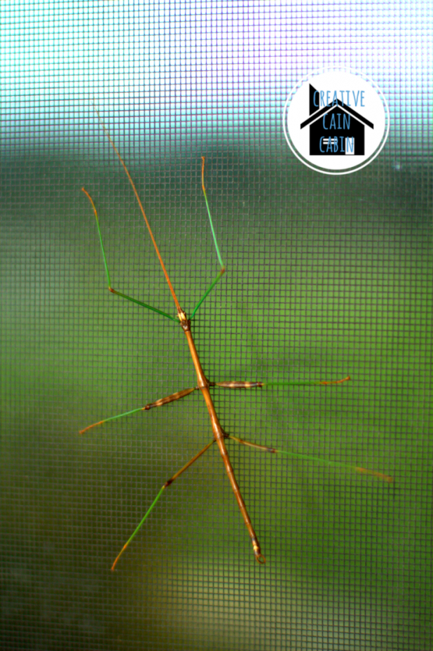 Walking Stick Insect 2