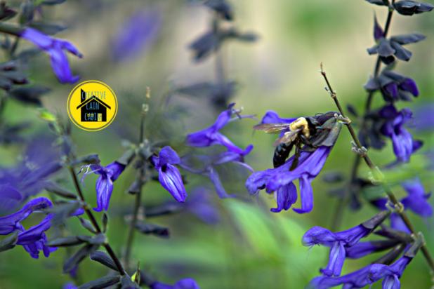 Bee on Black & Blue Salvia