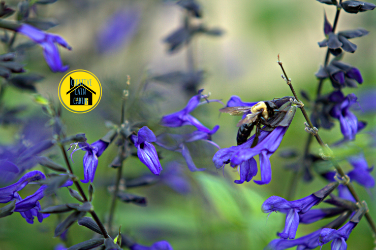 Bee on Black & Blue Salvia