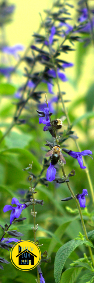 Bees on Black & Blue Salvia