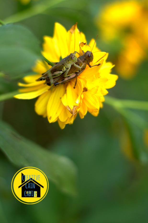 Grasshopper on a wildflower