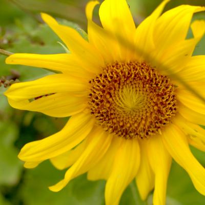 Sunflower Survivors