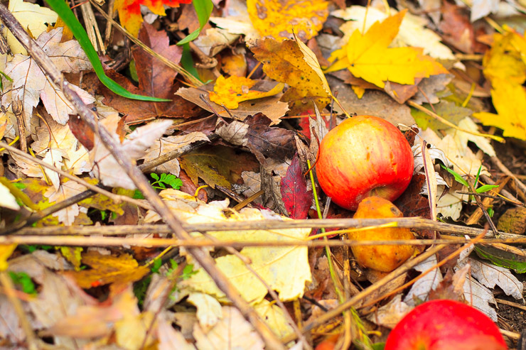 Apples in the Leaves