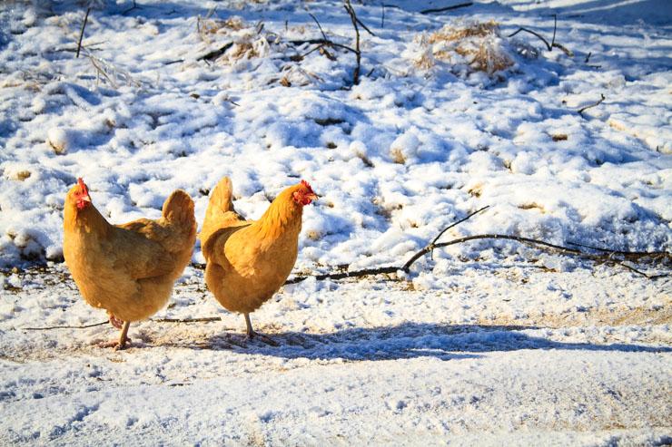 Chickens in Winter