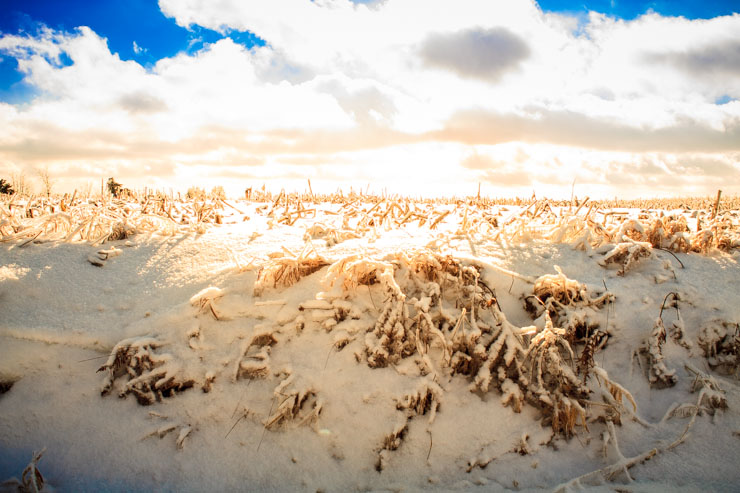 Corn Field With Ice and Snow