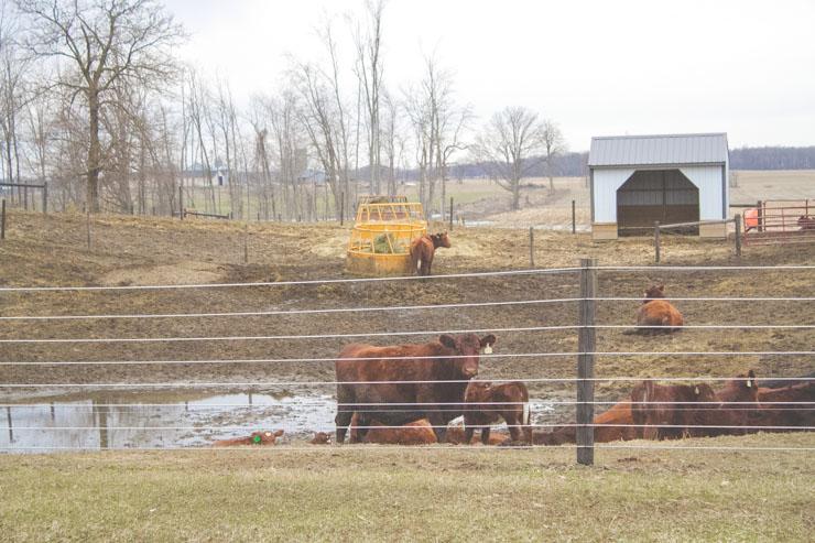 Spring Calves