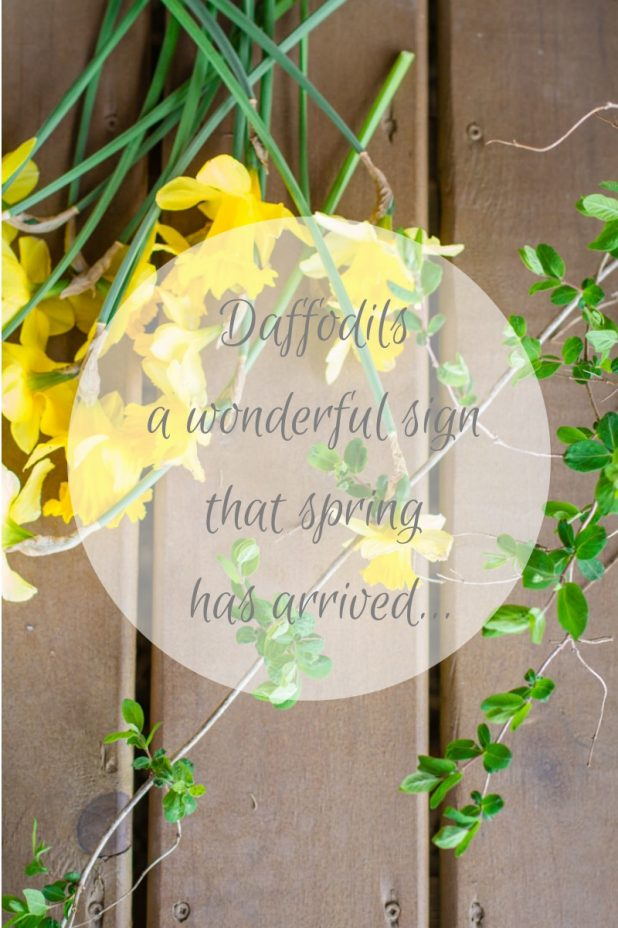 Daffodils area wonderful sign that spring has arrived