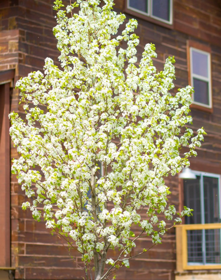 Flowering Pear Tree |pinterest.com/dawncain/ |Twitter.com/CCainCabin | #FloweringTrees