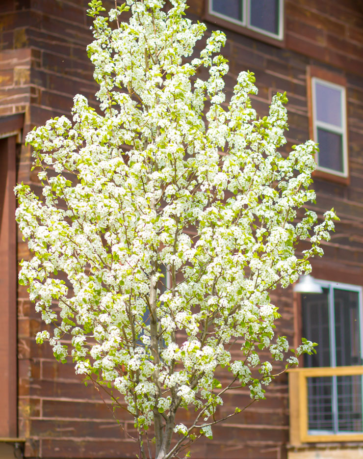 Flowering Pear Mystery Solved