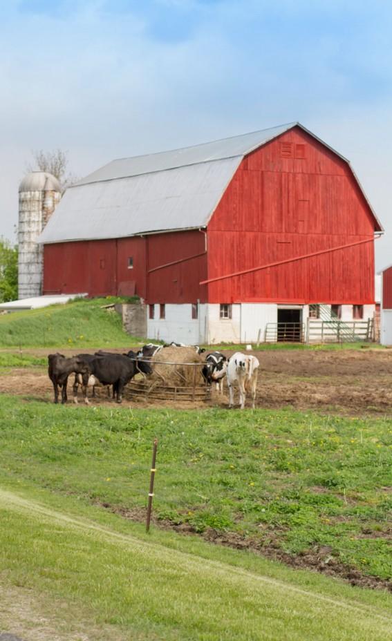 Red Barn   Grazing Cattle   Pure Michigan   Country Living   https://twitter.com/CCainCabin   www.facebook.com/creativecaincabin   http://www.pinterest.com/dawncain/   #Michigan #CountryLiving