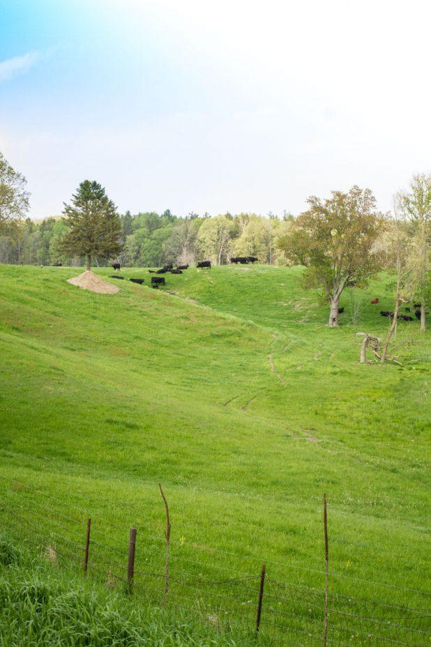 Countryside | Grazing Cattle | Pure Michigan | Country Living | https://twitter.com/CCainCabin | www.facebook.com/creativecaincabin | http://www.pinterest.com/dawncain/ | #Michigan #CountryLiving