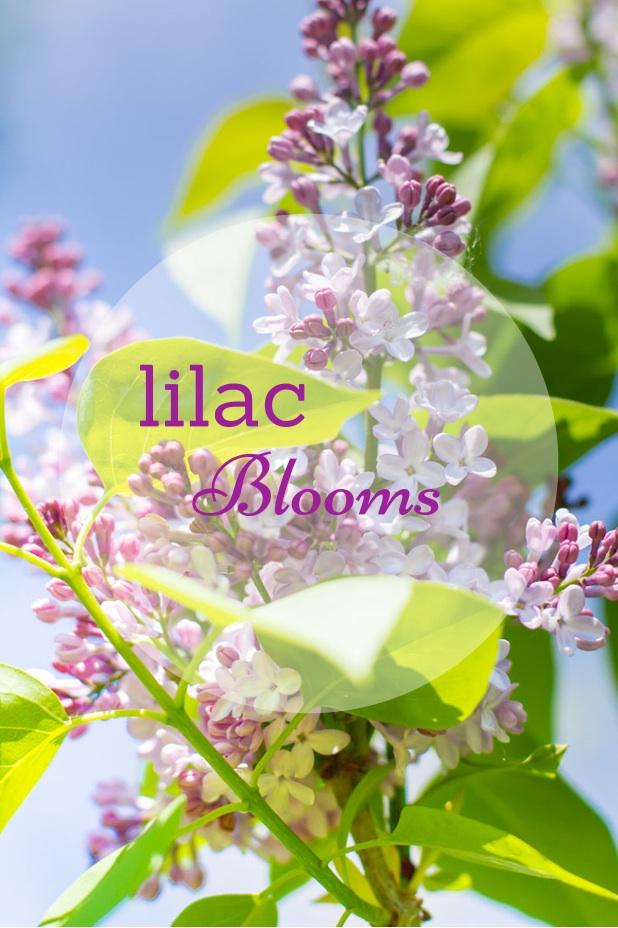 Lilac Blooms   Spring Flower Trees and Shrubs   Twitter.com/CCainCabin   http://www.pinterest.com/dawncain/   #FloweringLilacs