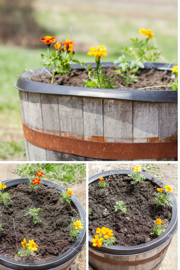 Whiskey Barrel Planted with Cherry Tomatoes and Marigolds