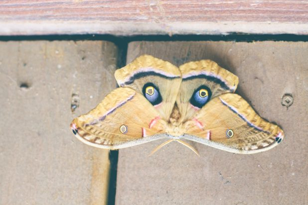 Giant Silk Moth | Creative Cain Cabin