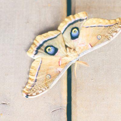 Giant Silk Moth {Cyclops Polyphemus}