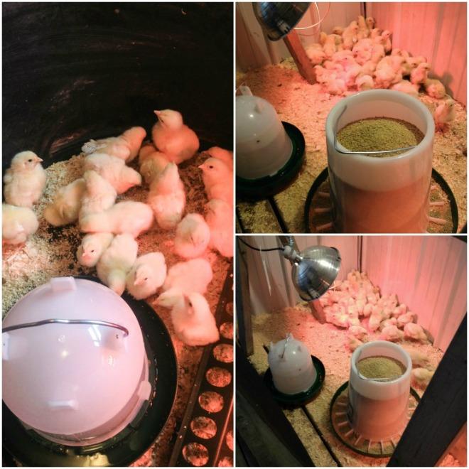 Chicken Coop Build Using Salvaged Material   CreativeCainCabin.com