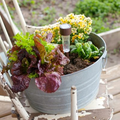 Rustic Galvanized Bucket Filled with Salad Greens