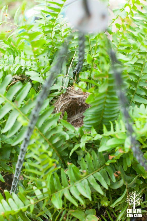 Birds Nest In Hanging Fern | CreativeCainCabin.com