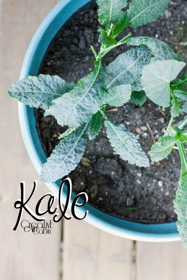 Kale | Organic Vegetables | Garden | Vegetable Garden | Harvest | CreativeCainCabin.com