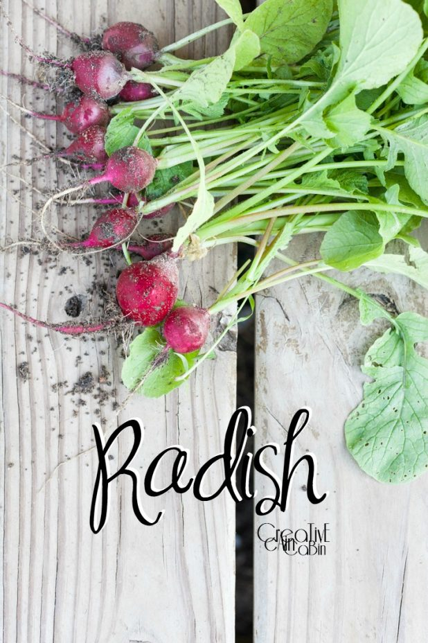 Radish | Organic Vegetables | Garden | Vegetable Garden | Harvest | CreativeCainCabin.com
