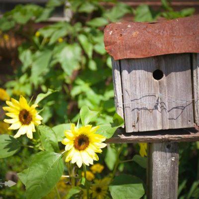 Sunflower Blooms