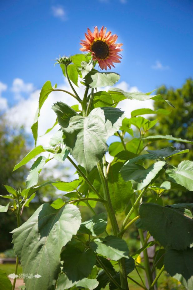 Sunflower Bloom | CreativeCainCabin.com