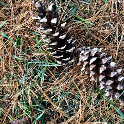 Pine Cone Pickin'