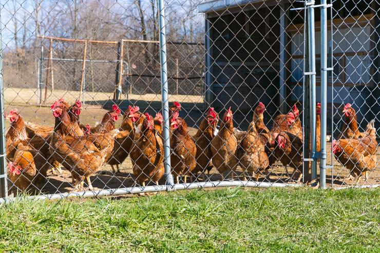 Ida Brown Chickens