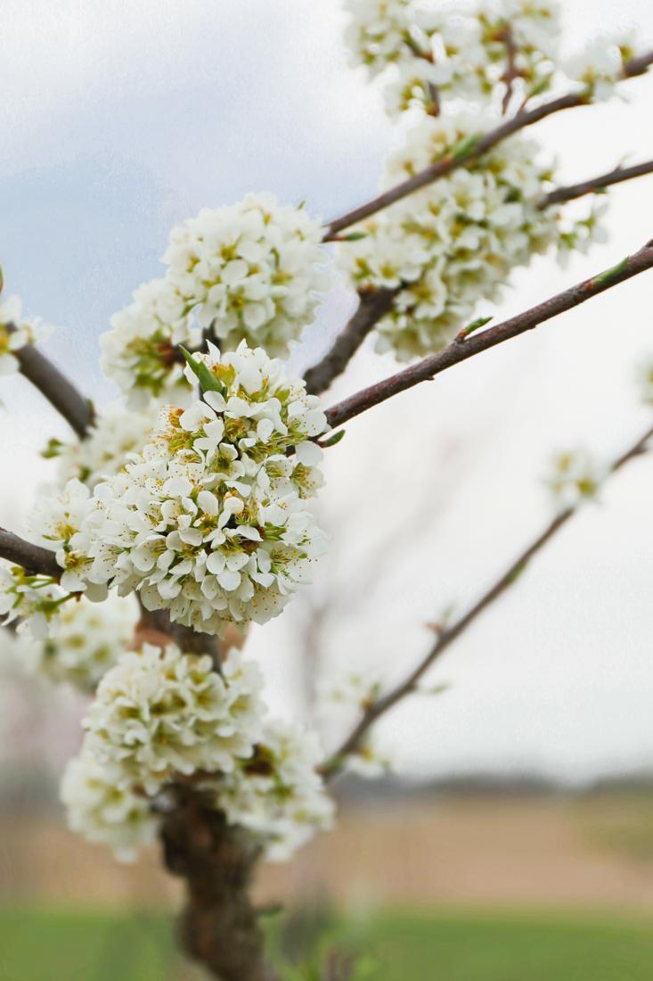 Fruit Tree Blossoms