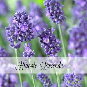 Hidcote Lavender