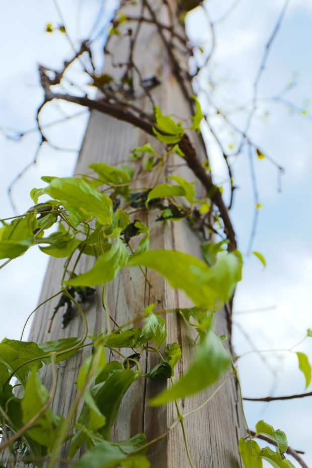 Here's the Perfect Trellis For Anyone Who Gardens. It's Made From Grapevine That Grows Wild In The Country
