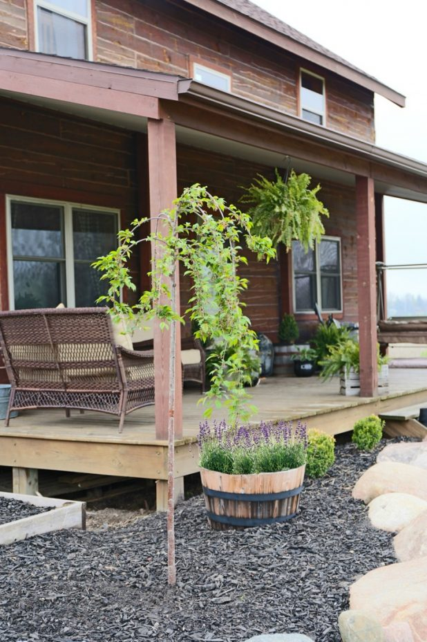 Weeping Cherry Tree and Lavender Wiskey Barrel Landscape Additions