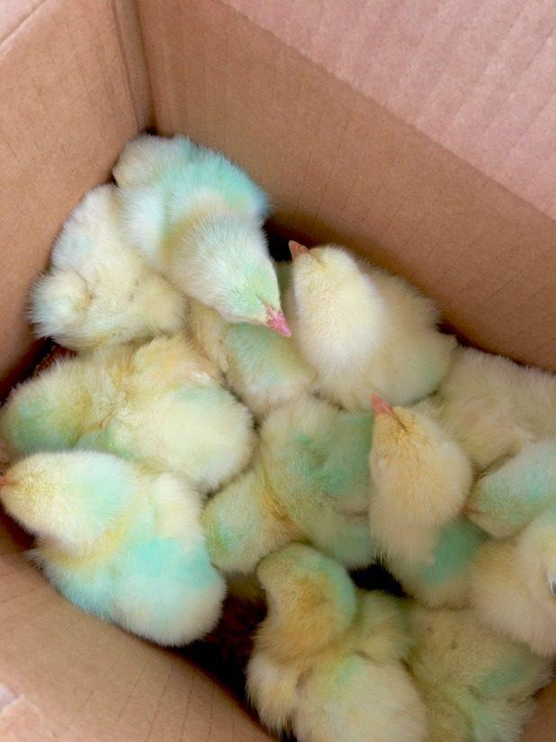Meat Chicken Chicks