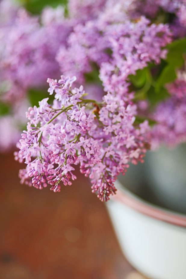 Purple Lilac Blooms