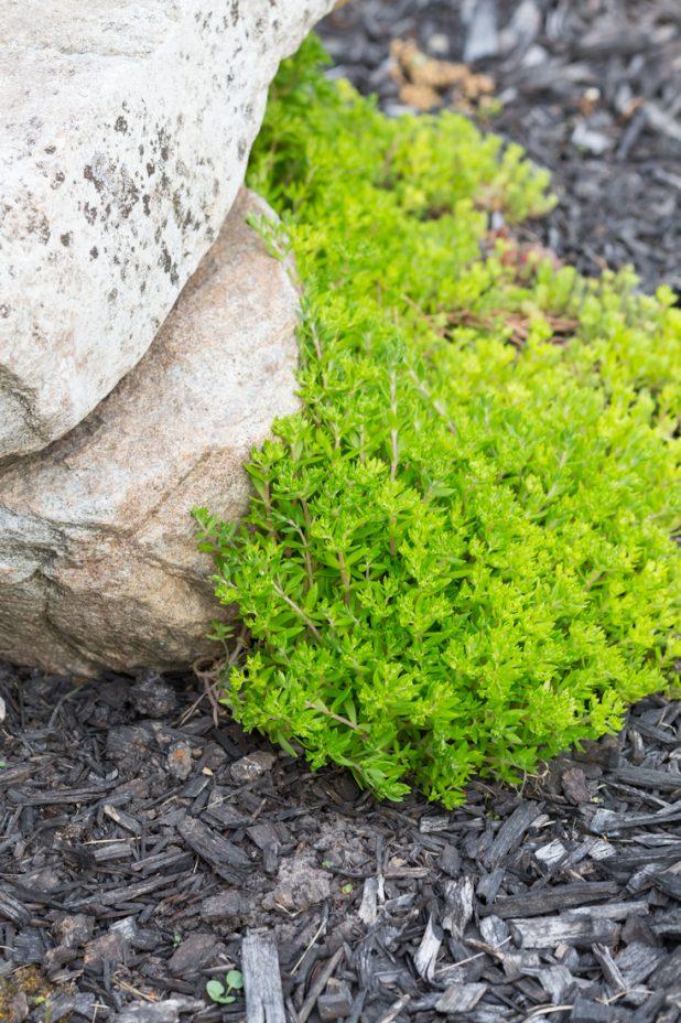 Goldmoss Sedum, Stonecrop, Ground Cover