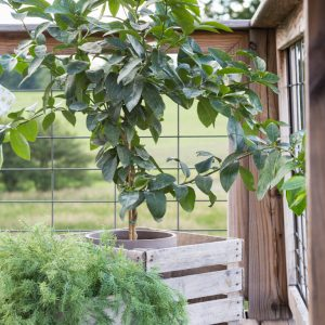 Potted Lime Tree