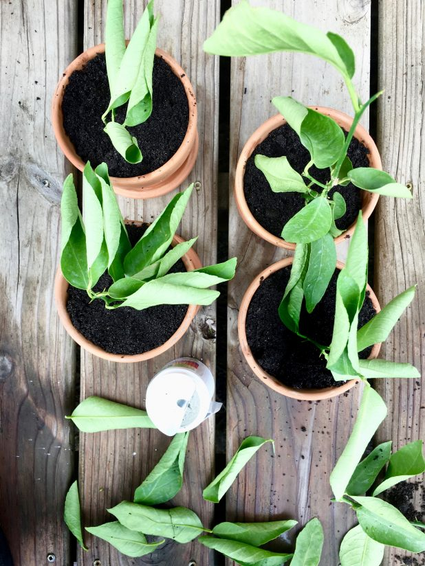 How to Propagate A Lime Tree From Cuttings. It's Easy and the Success Rate is Fantastic.