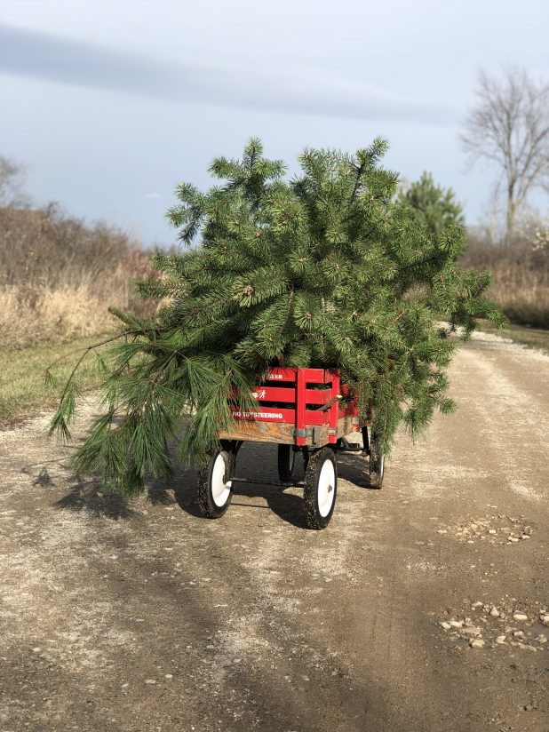 Vintage Red Wagon Loaded with Pine Tree Clippings and a Christmas Tree