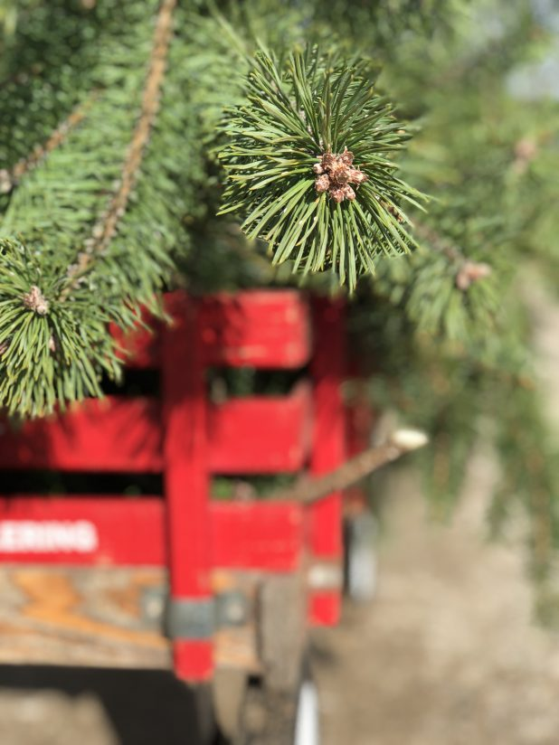Vintage Red Wagon Filled With Pine Tree Clippings to Use in Outdoor Christmas Decorating