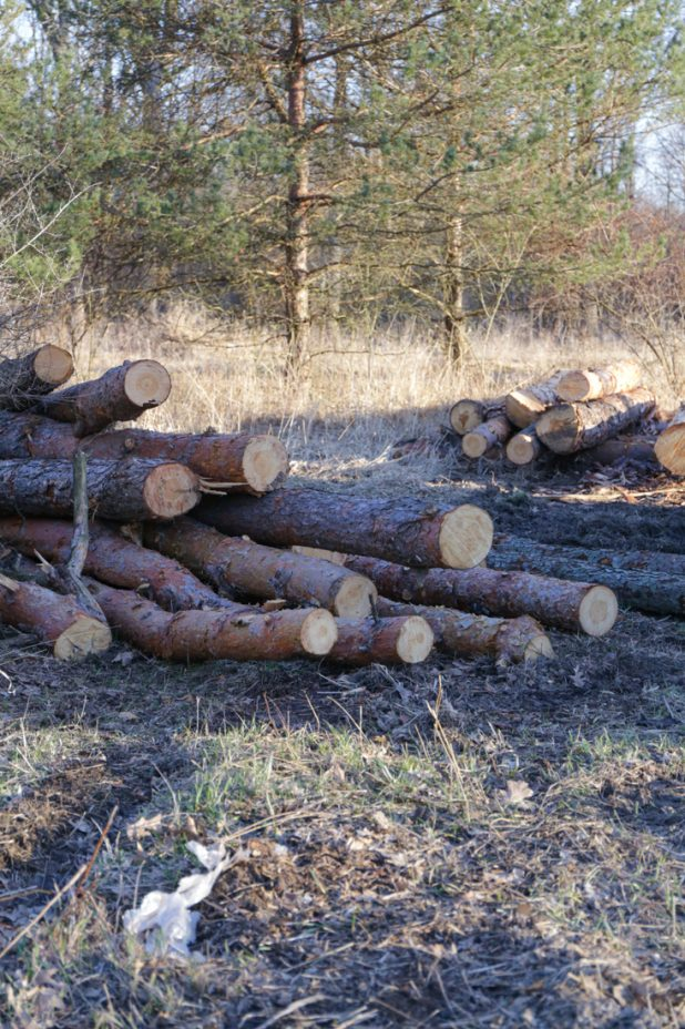 Logging Red Pine Trees For Log Home Repairs, Cabin Renovation