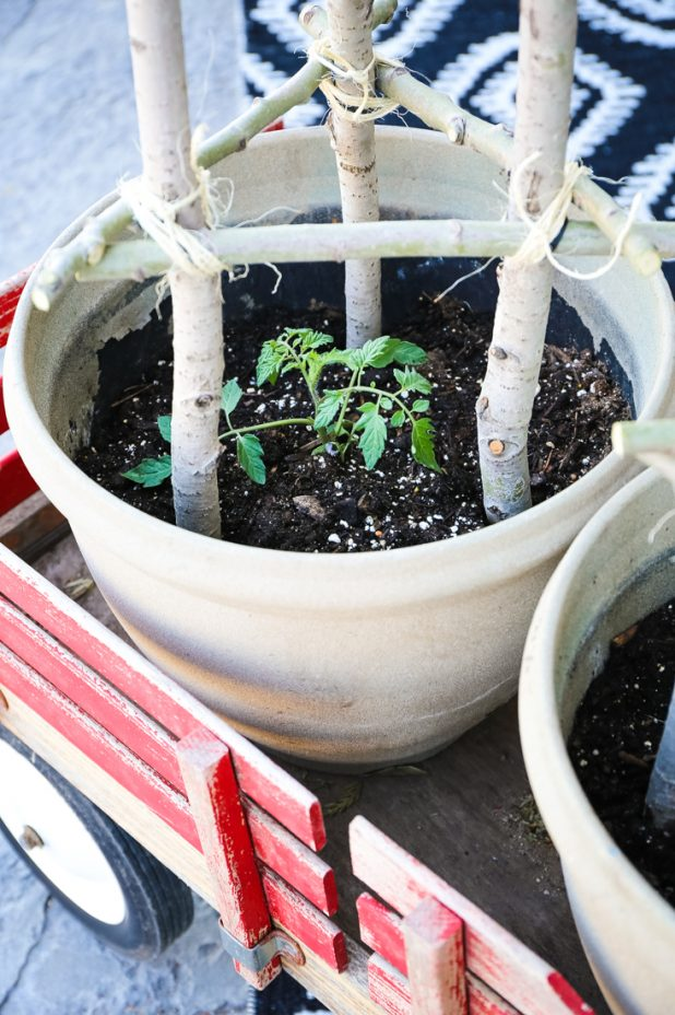 Potted Patio Tomato Plants With Handmade Stick Tomato Cage