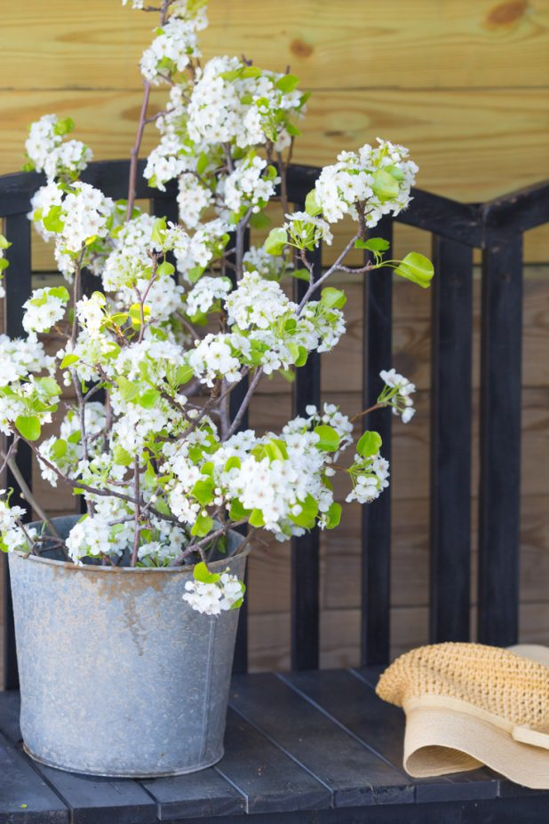 Flowering Pear Branches in an Old Rusty, Galvanized Bucket, Farmhouse Style Decor