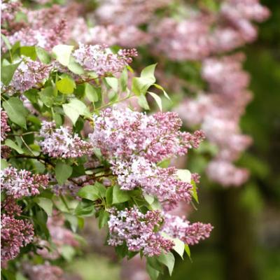 May Flowering Trees