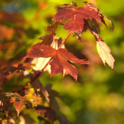 Fall's Sugar Maple Leaves
