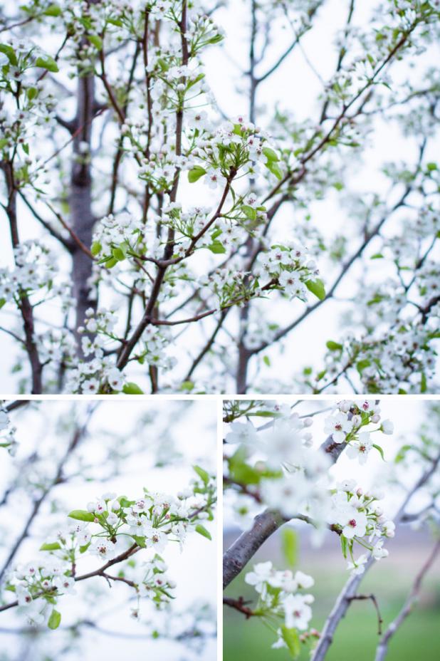 Flowering Pear Tree