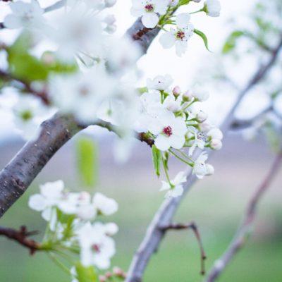 Flowering Pear Tree in Bloom