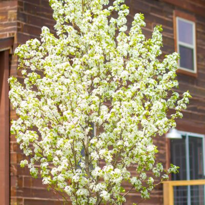 Flowering Pear Mystery Solved