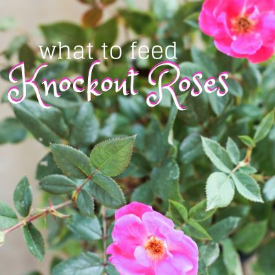 What I Feed My Knockout Roses