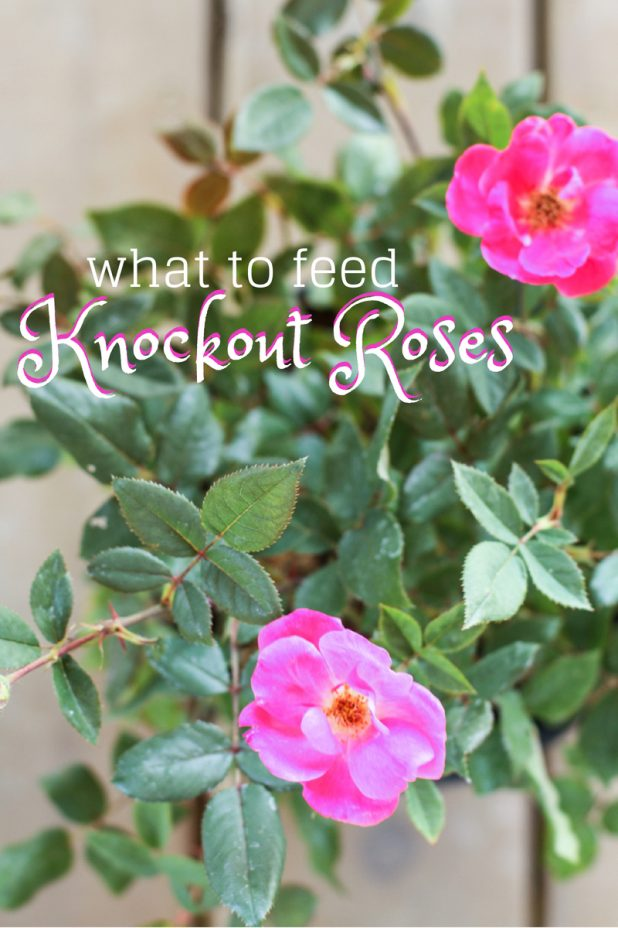 Knockout Roses | What to Feed Your Knockout Roses | Creative Cain Cabin