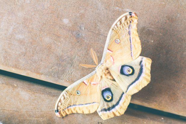 Giant Silk Moth | Creative Cain Cabin